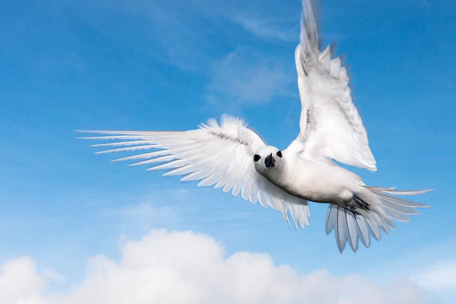 Fairy tern in flight, Cousin Island Special Reserve, Seychelles
