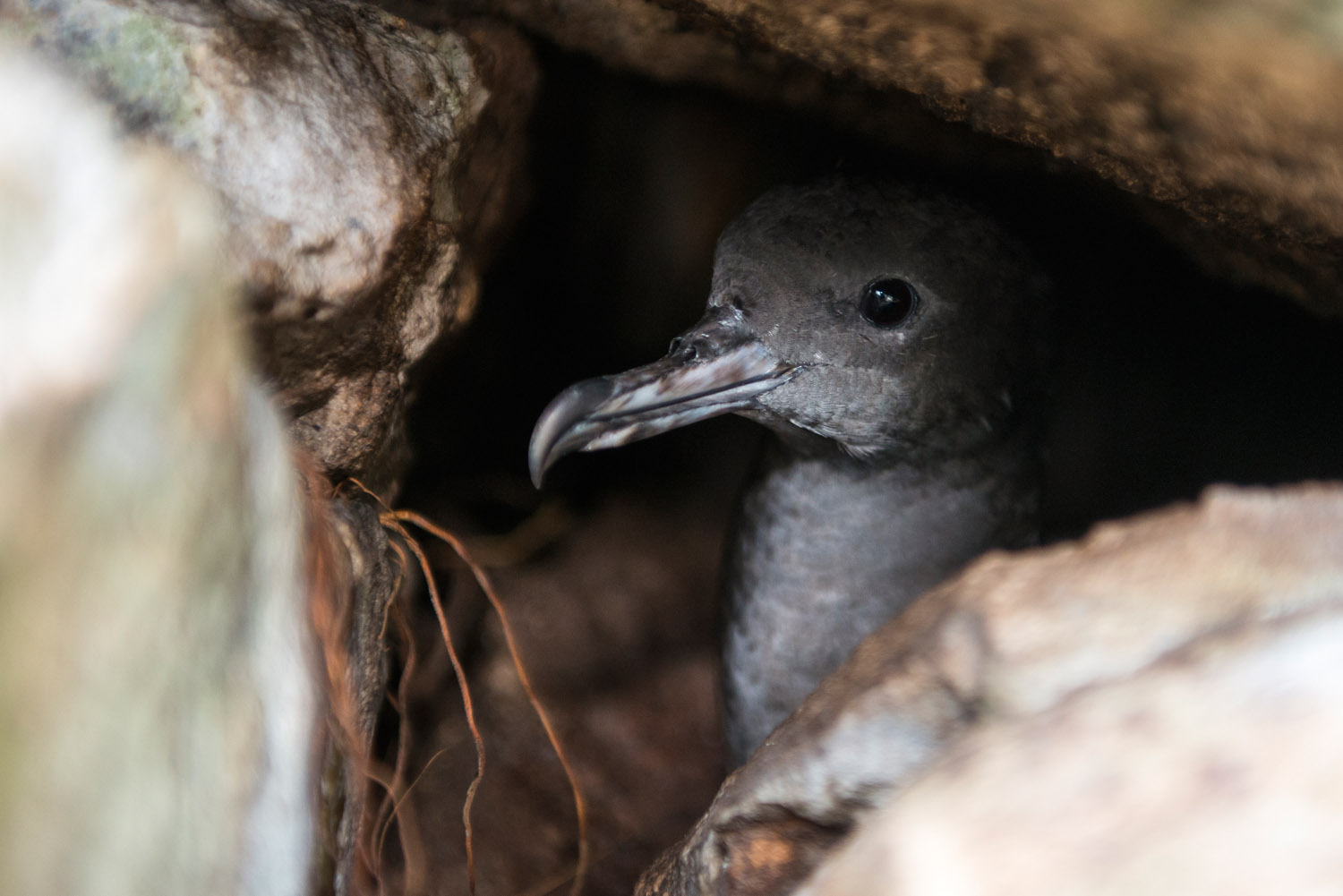 Wedge-tailed shearwater in rock burrow, Cousin Island Special Reserve, Seychelles