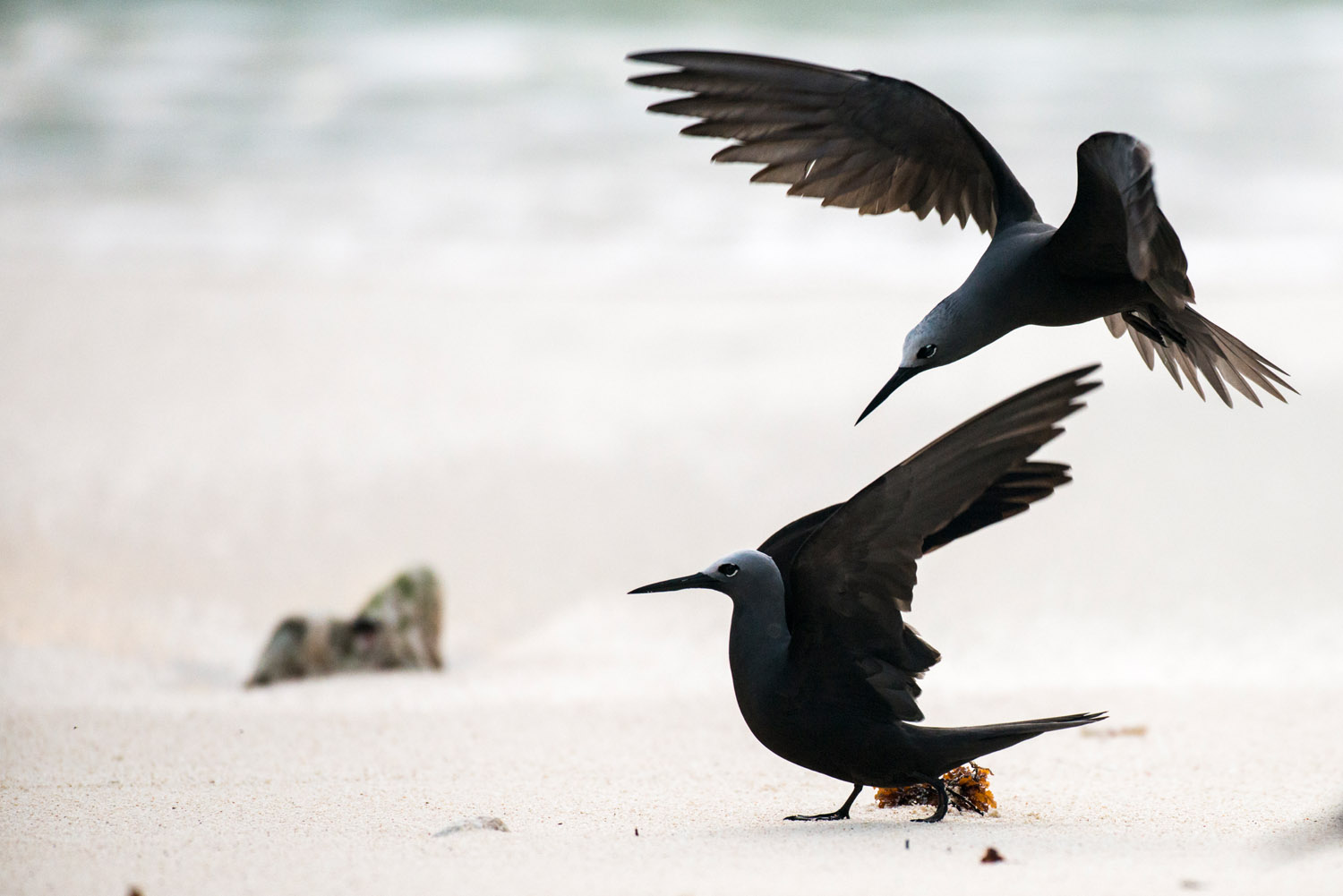 Lesser noddies playing on beach, Cousin Island Special Reserve, Seychelles