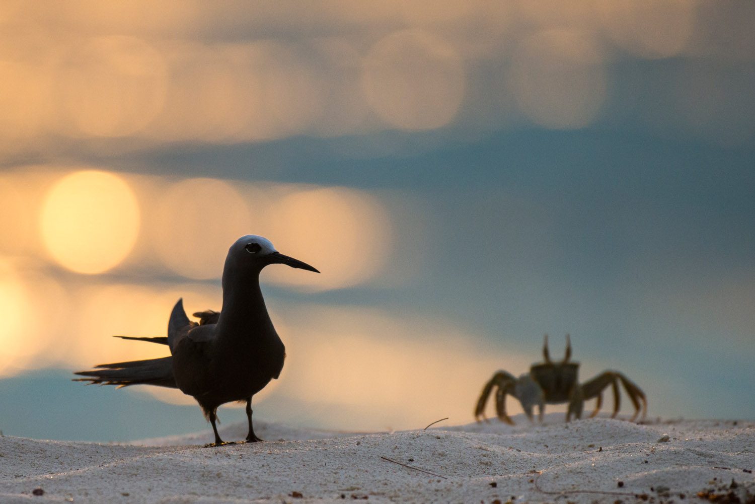 Lesser noddy and horned ghost crab on beach at sunset, Cousin Island Special Reserve, Seychelles