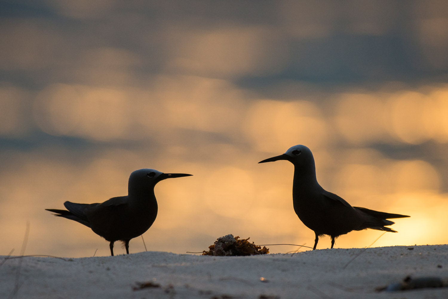Lesser noddies on beach at sunset, Cousin Island Special Reserve, Seychelles
