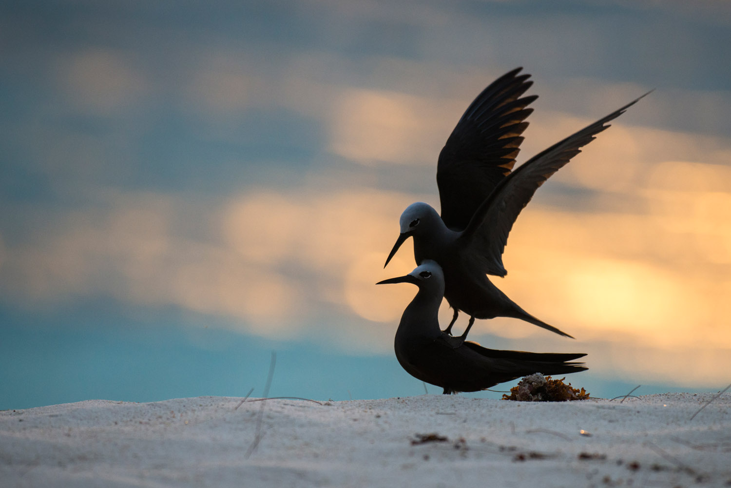 Lesser noddies frolicking on beach at sunset, Cousin Island Special Reserve, Seychelles