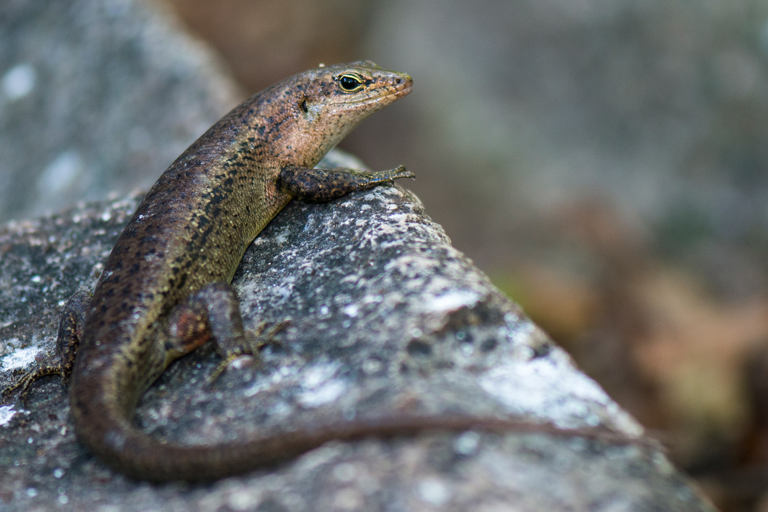 Wright's skink, Cousin Island Special Reserve, Seychelles