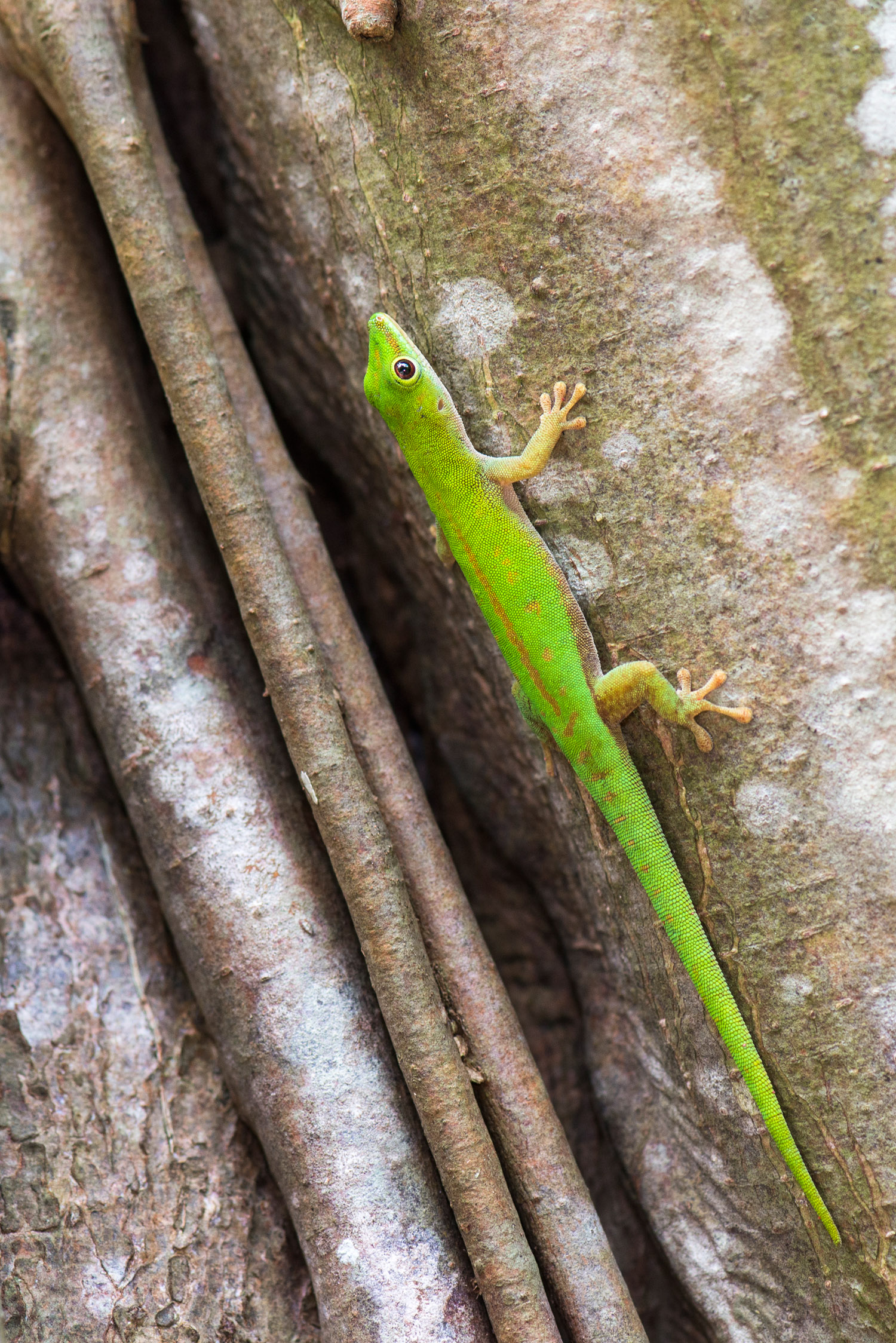 Seychelles green day gecko in banyan tree, Cousin Island Special Reserve, Seychelles