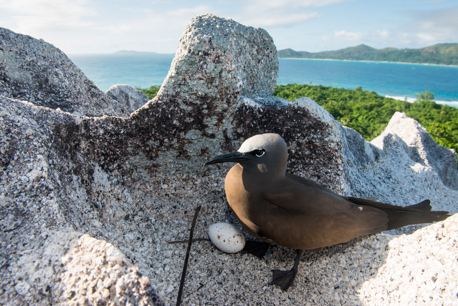Brown noddy with egg on granite boulder, Cousin Island Special Reserve, Seychelles