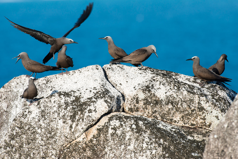 Brown noddies on granite boulder, Cousin Island Special Reserve, Seychelles