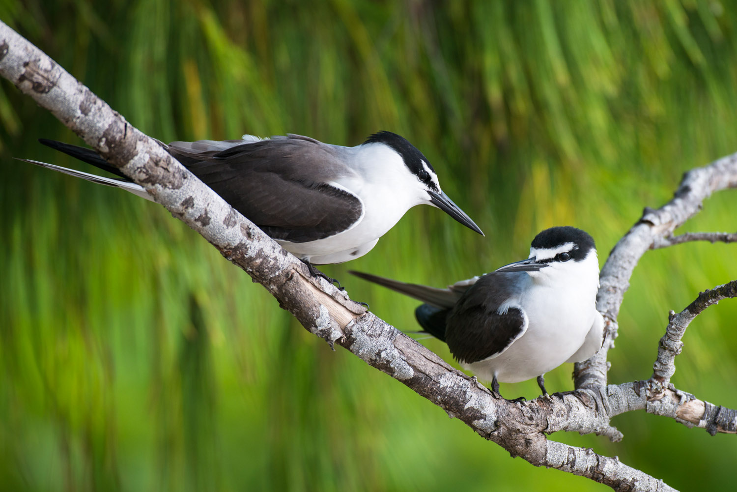Bridled terns in casuarina tree, Cousin Island Special Reserve, Seychelles