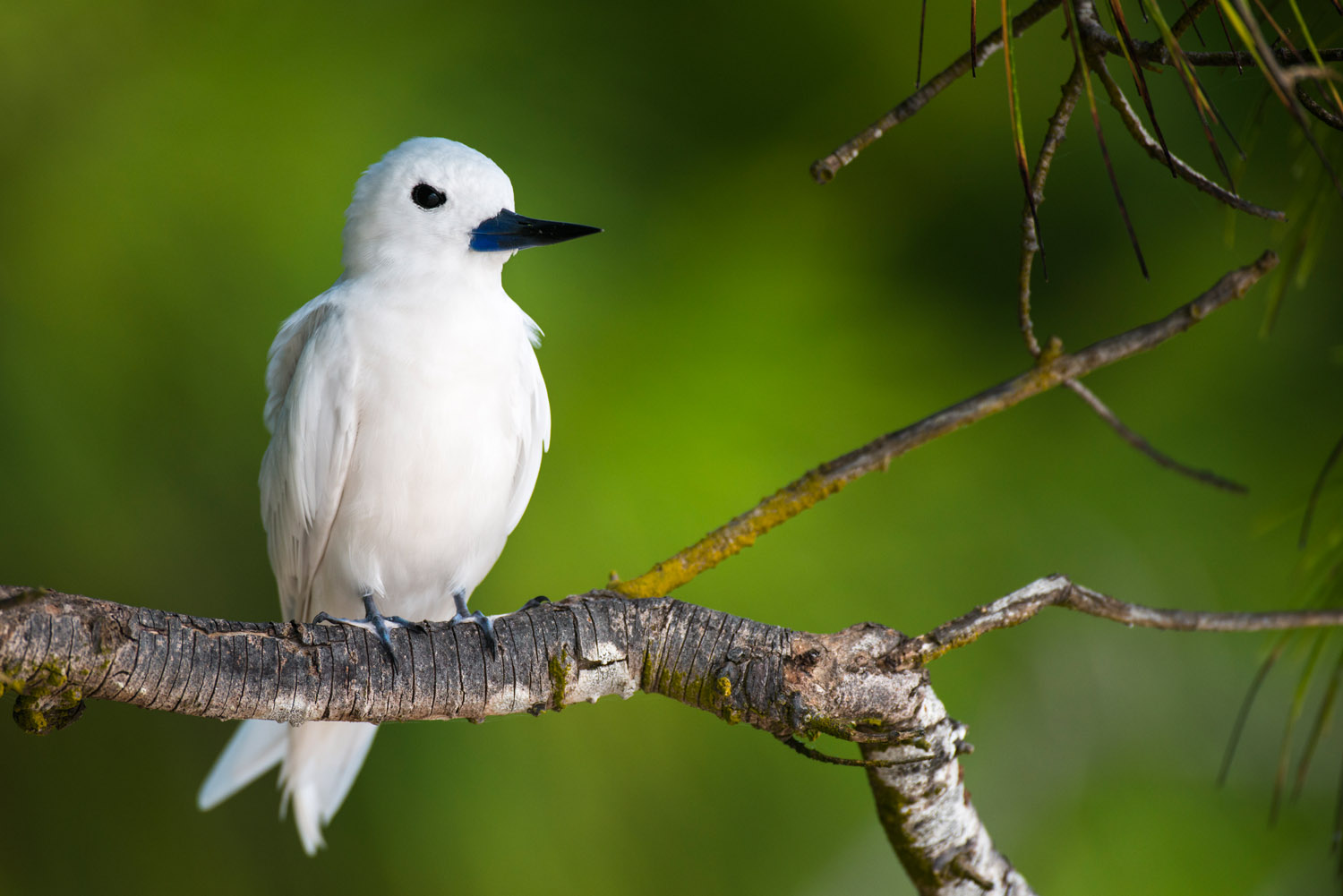 Fairy tern in casuarina tree, Cousin Island Special Reserve, Seychelles