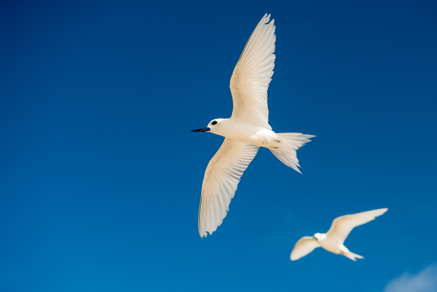Fairy terns in flight, Cousin Island Special Reserve, Seychelles