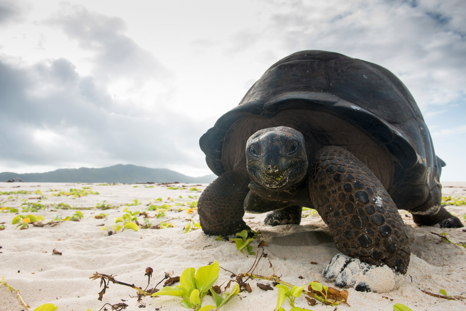 Aldabra giant tortoise on beach, Cousin Island Special Reserve, Seychelles