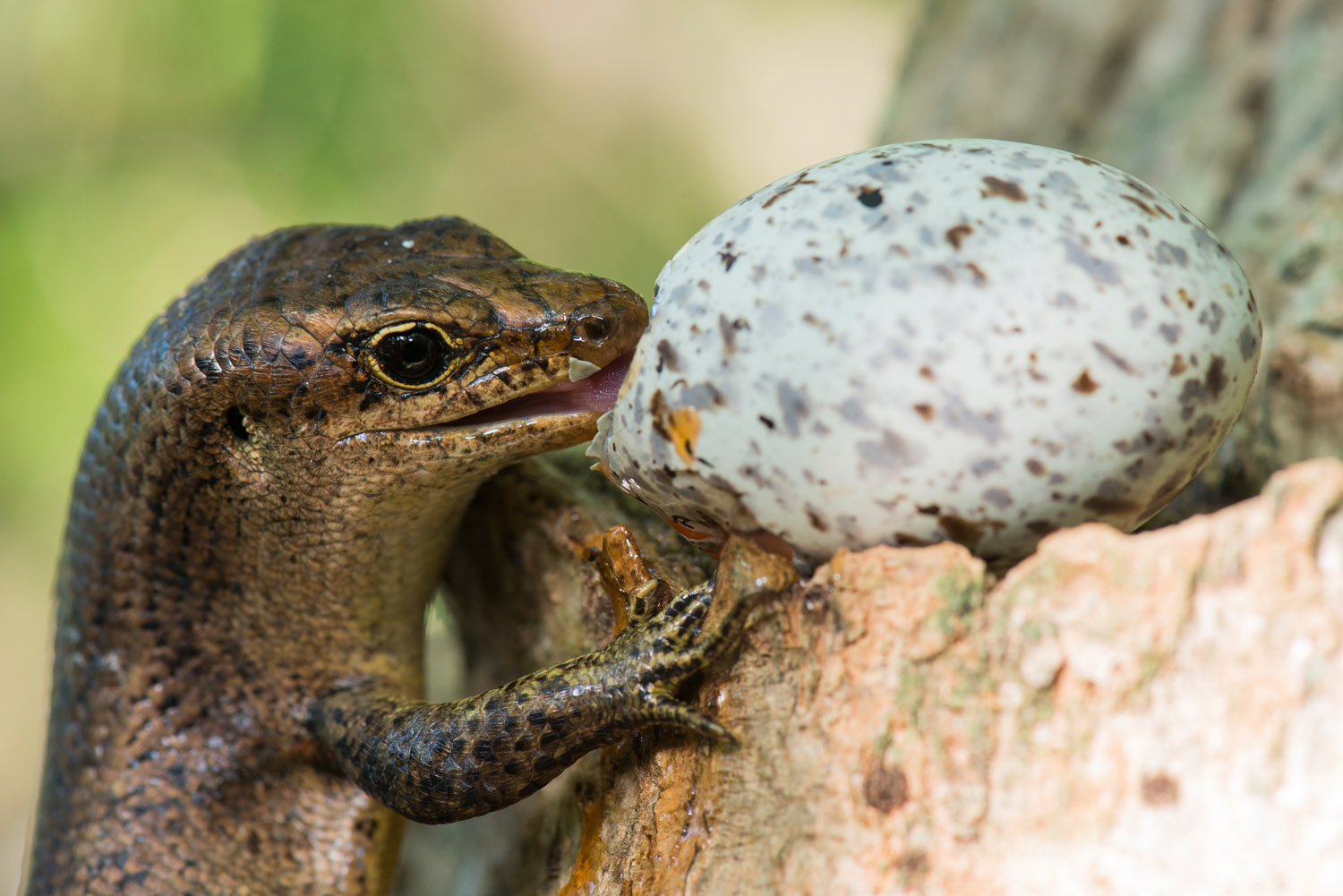 Wright's skink eating fairy tern egg balancing in pisonia tree, Cousin Island Special Reserve, Seychelles