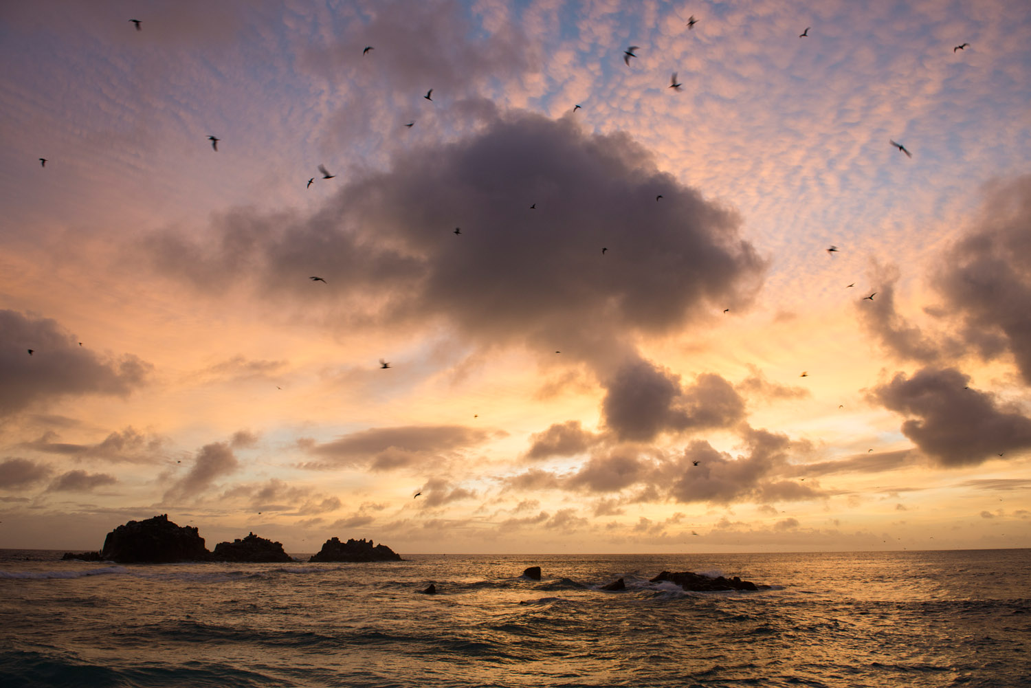 Lesser noddies in flight over Indian Ocean and 'Roche Canon' island at sunset, Cousin Island Special Reserve, Seychelles