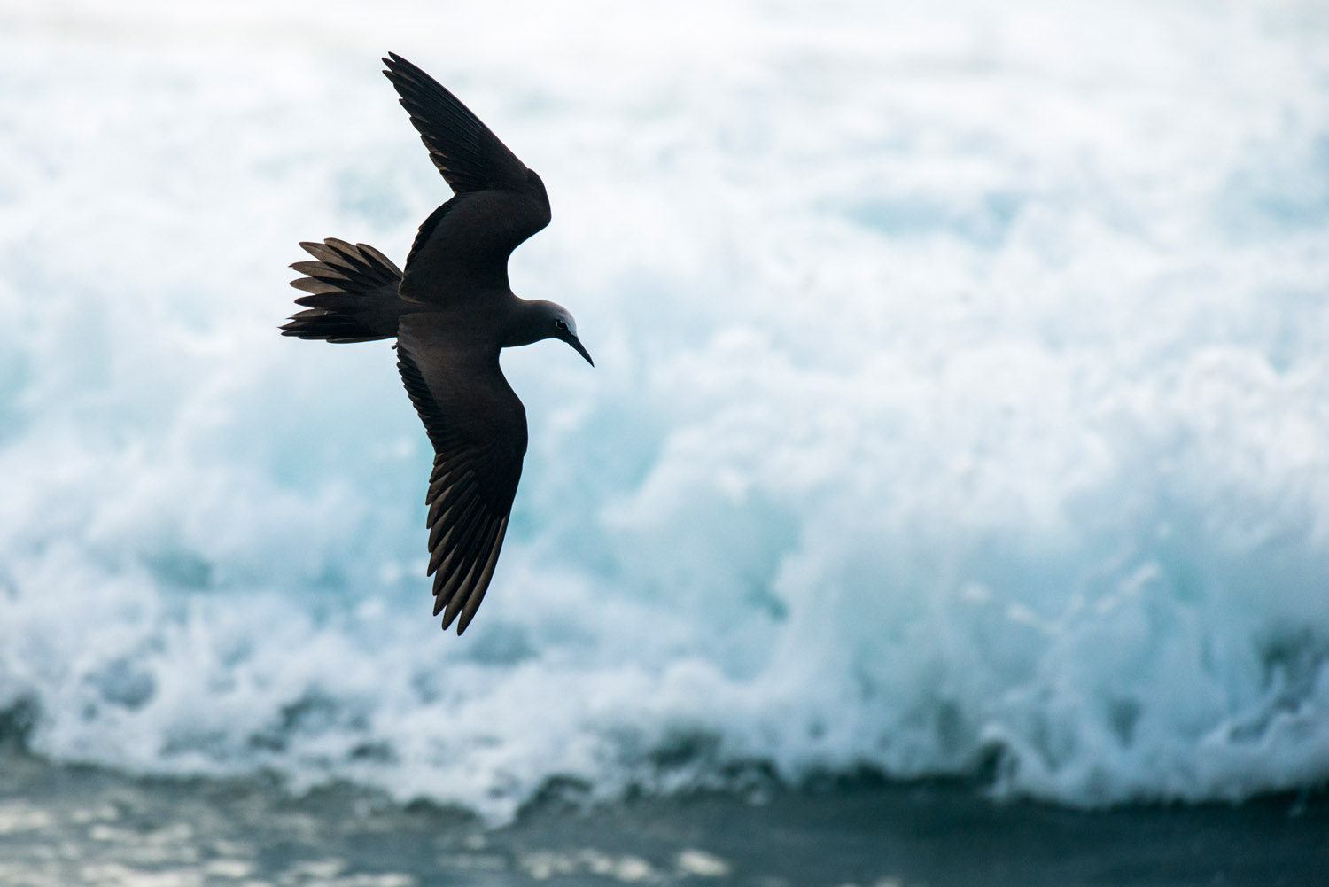 Lesser noddy in flight over waves, Cousin Island Special Reserve, Seychelles