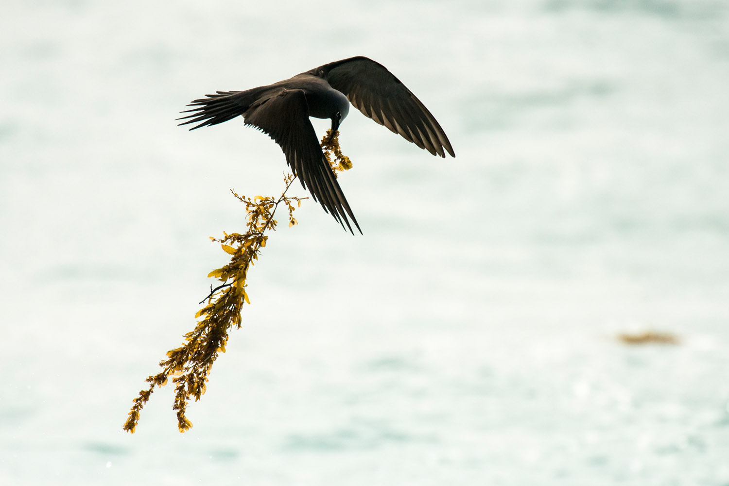 Lesser noddy carrying seaweed back to nest, Cousin Island Special Reserve, Seychelles