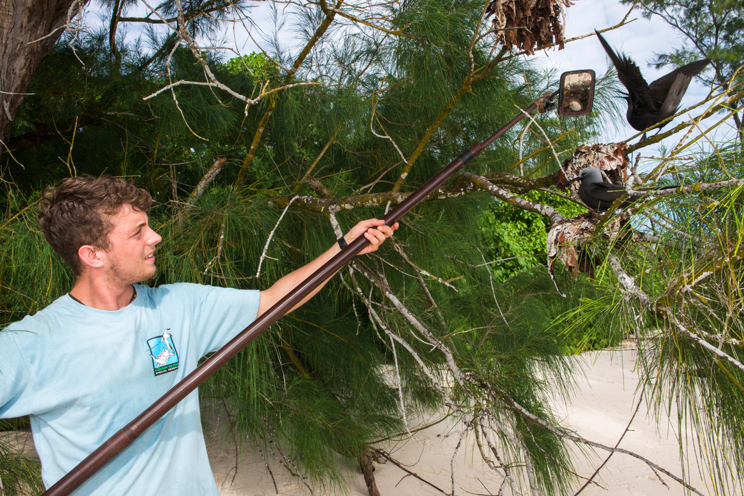 Conservation volunteer checking lesser noddy nests for eggs with mirror, Cousin Island Special Reserve, Seychelles