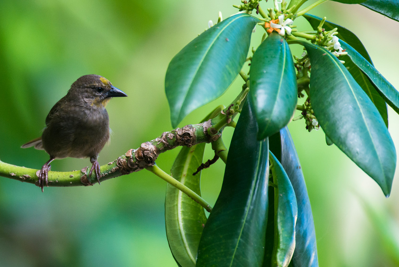 Seychelles fody (male) in flowering ochrosia tree, Cousin Island Special Reserve, Seychelles