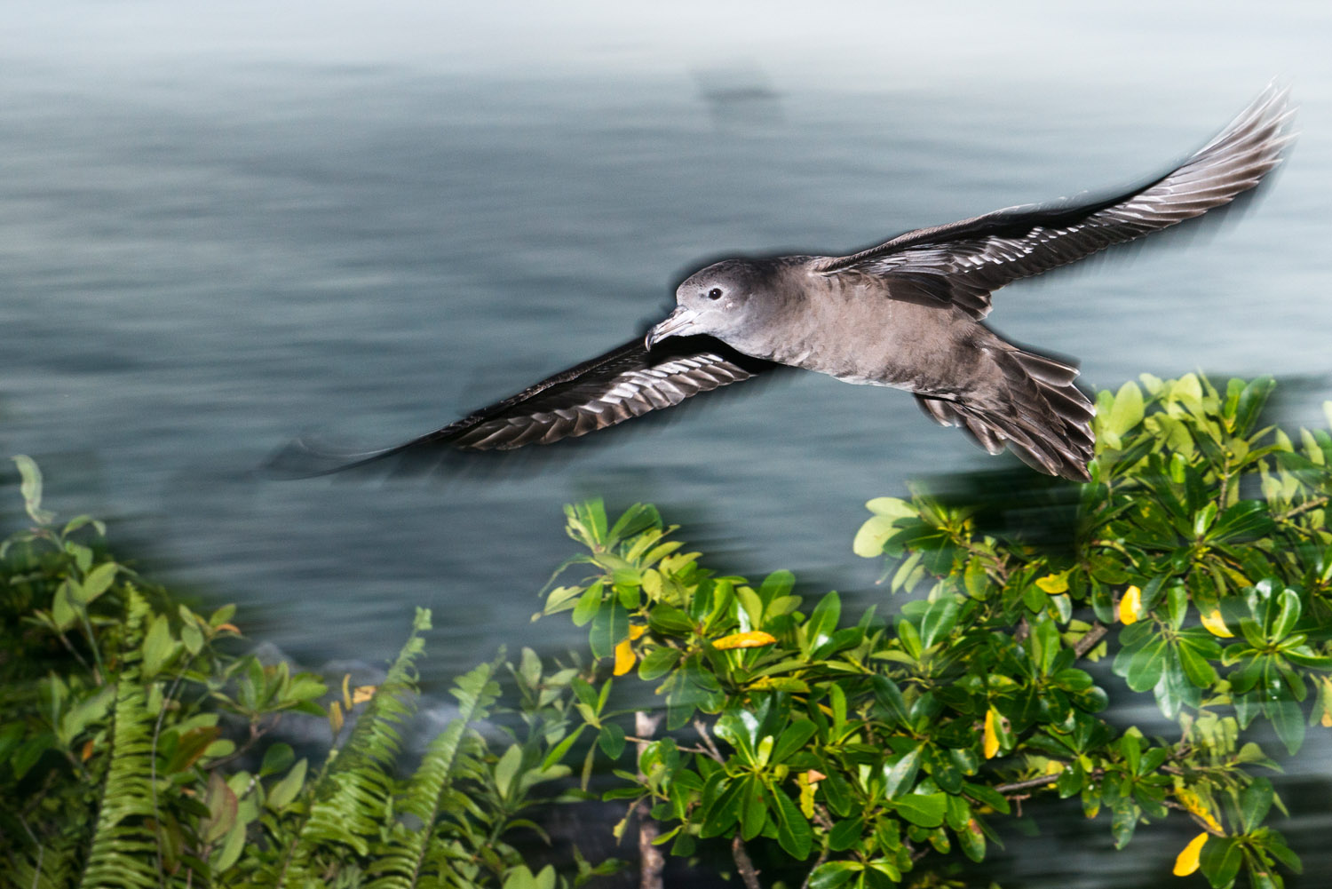 Wedge-tailed shearwater in flight at twilight, Cousin Island Special Reserve, Seychelles