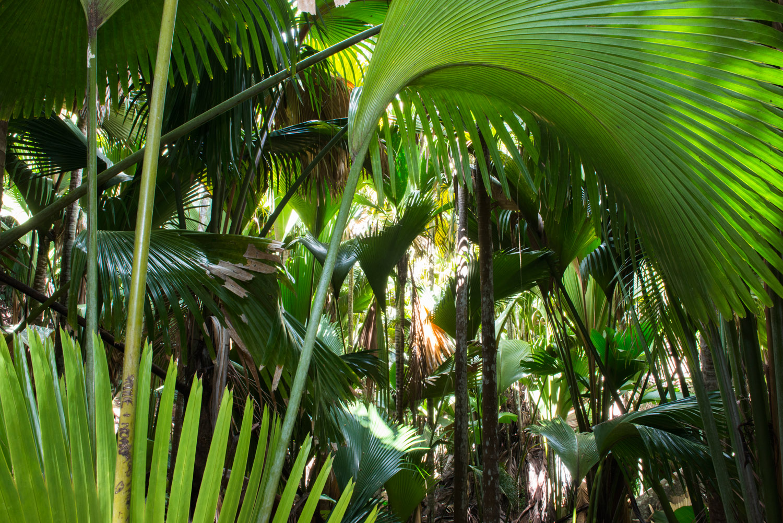 Coco de Mer palms, Vallée de Mai (a UNESCO World Heritage Site managed by SIF), Praslin, Seychelles