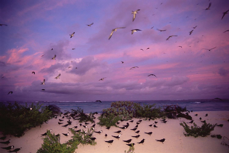 Sooty tern colony at twilight, Bird Island, Seychelles