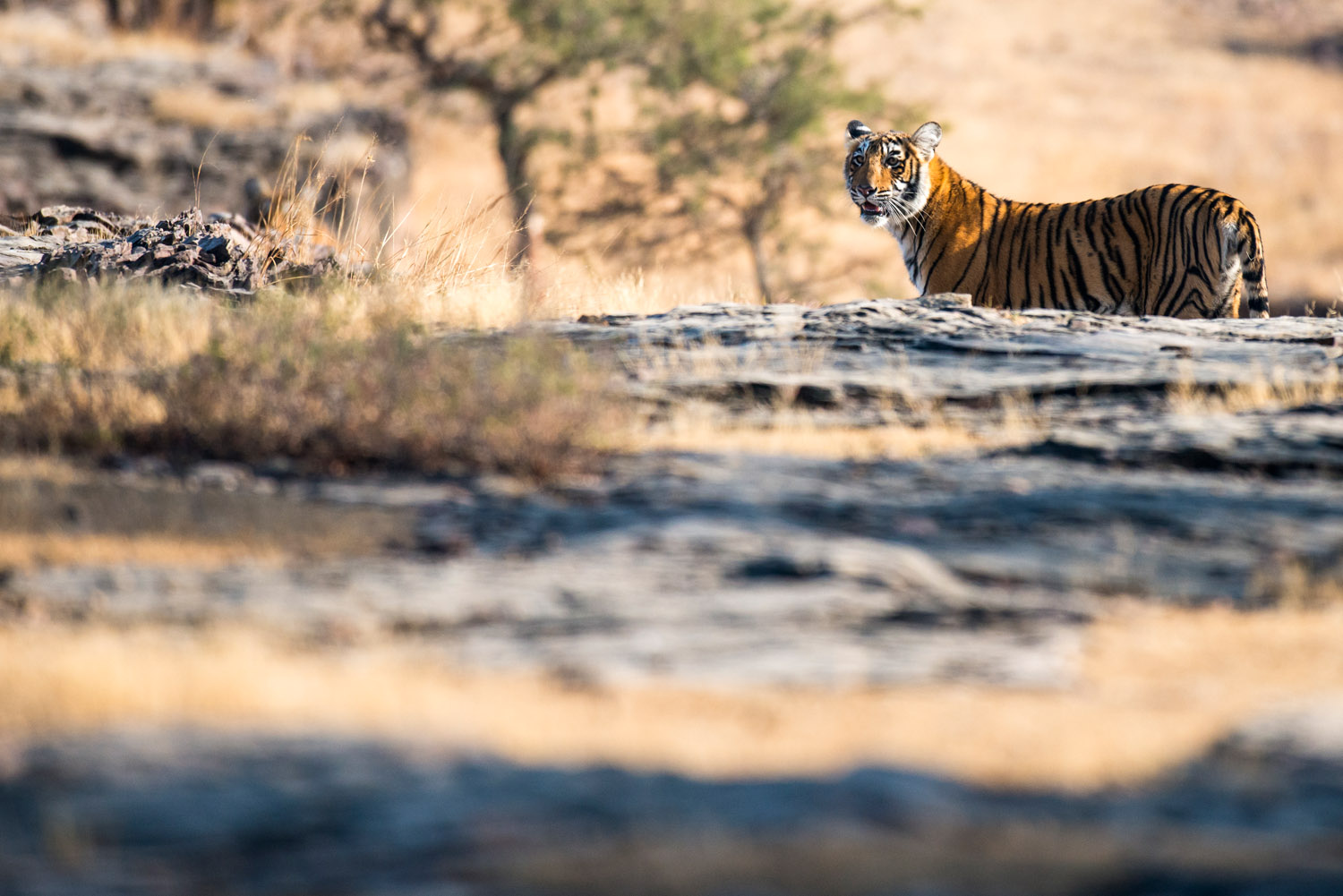 Bengal tiger looking across rocky plateau, Ranthambhore National Park, Rajasthan, India