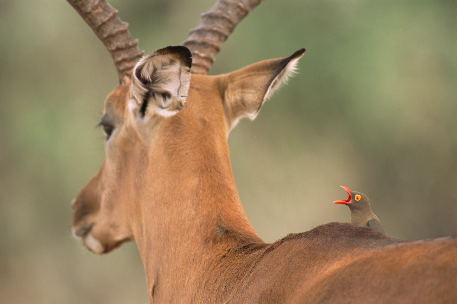 Red-billed oxpecker calling on impala, Samburu National Reserve, Kenya