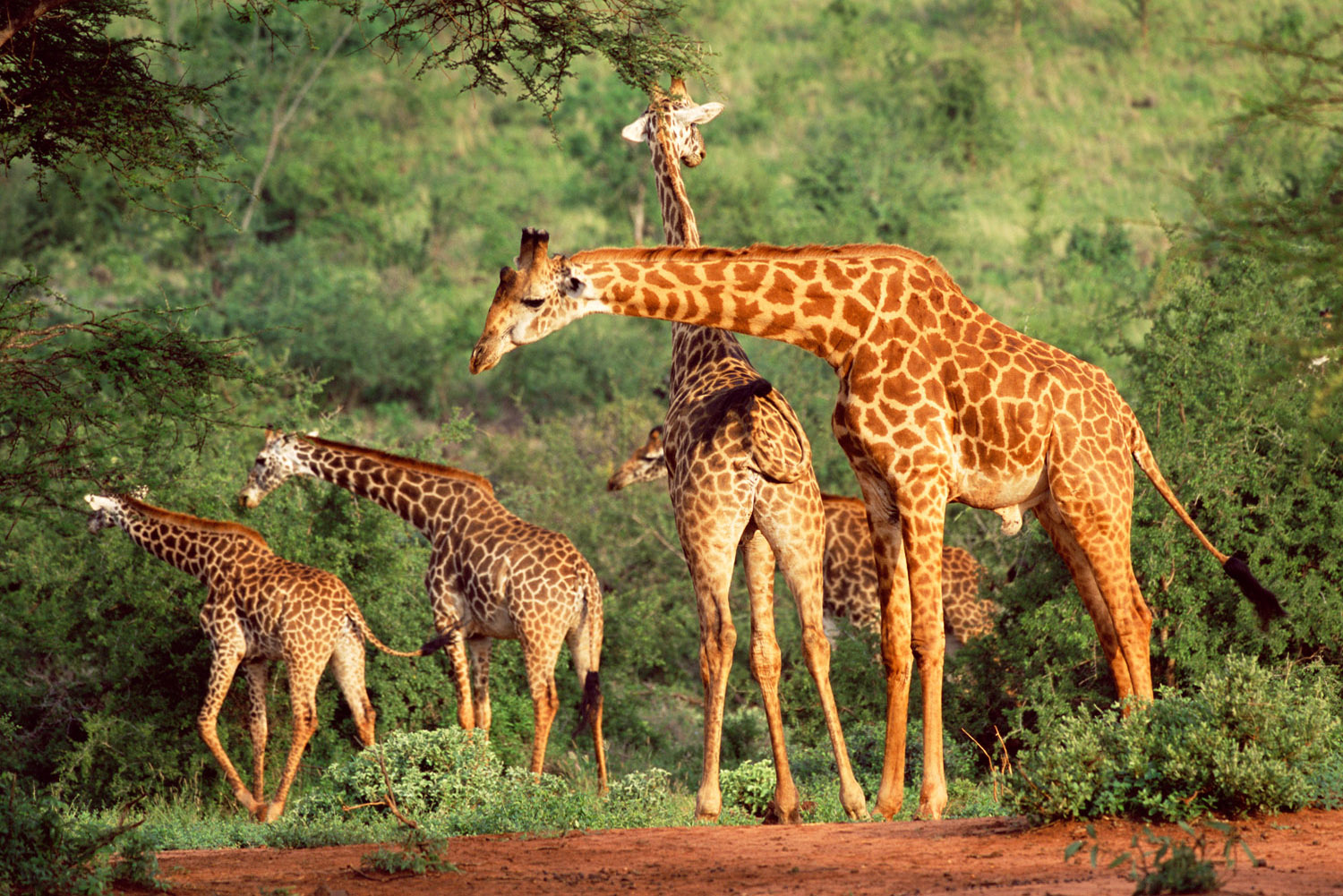 Maasai giraffes, Tsavo West National Park, Kenya