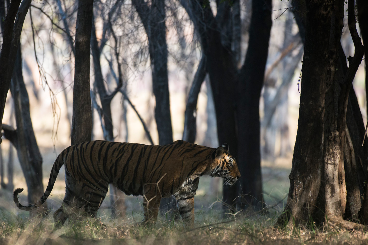 Bengal tigress in dhok forest, Ranthambhore National Park, Rajasthan, India