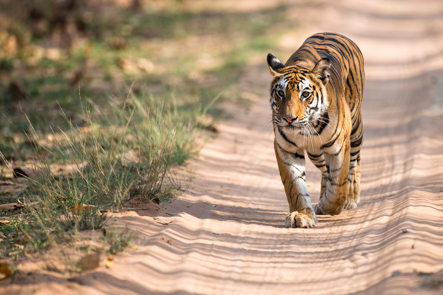 Bengal tigress walking along forest track, Bandhavgarh National Park, Madhya Pradesh, India