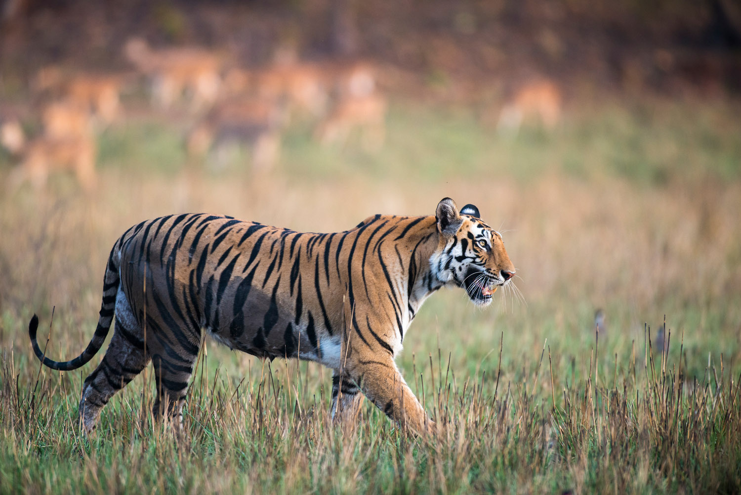 Bengal tigress walking across meadow (chital/spotted deer in background), Bandhavgarh National Park, Madhya Pradesh, India