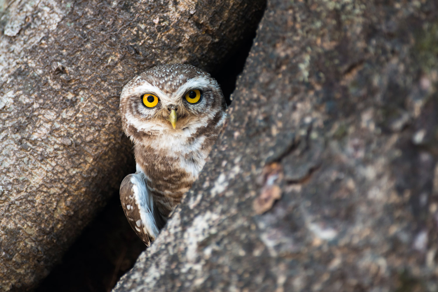 Spotted owlet in Indian banyan tree hollow, Bandhavgarh National Park, Madhya Pradesh, India