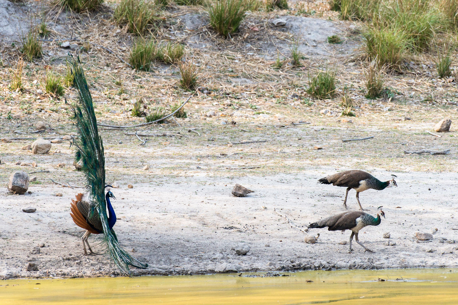 Indian peacock in courtship display to peahens at edge of pool, Bandhavgarh National Park, Madhya Pradesh, India
