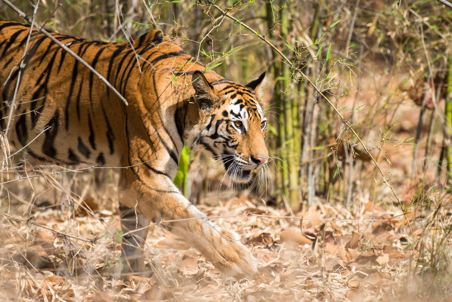 Bengal tigress walking through bamboo thicket, Bandhavgarh National Park, Madhya Pradesh, India