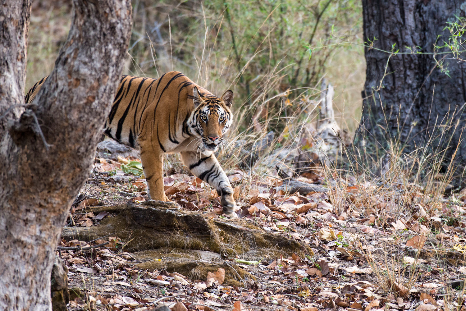 Bengal tigress emerging from sal forest, Bandhavgarh National Park, Madhya Pradesh, India