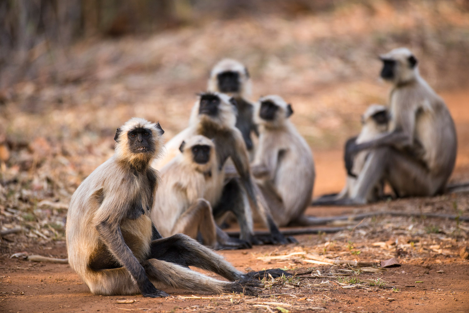 Hanuman langur monkey family resting on forest track, Bandhavgarh National Park, Madhya Pradesh, India