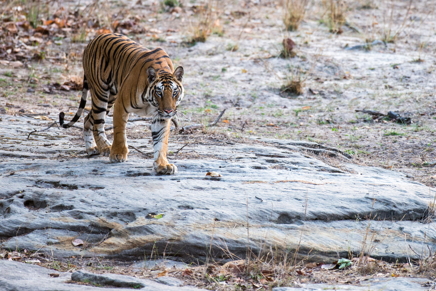 Bengal tigress walking over rocky ground, Bandhavgarh National Park, Madhya Pradesh, India