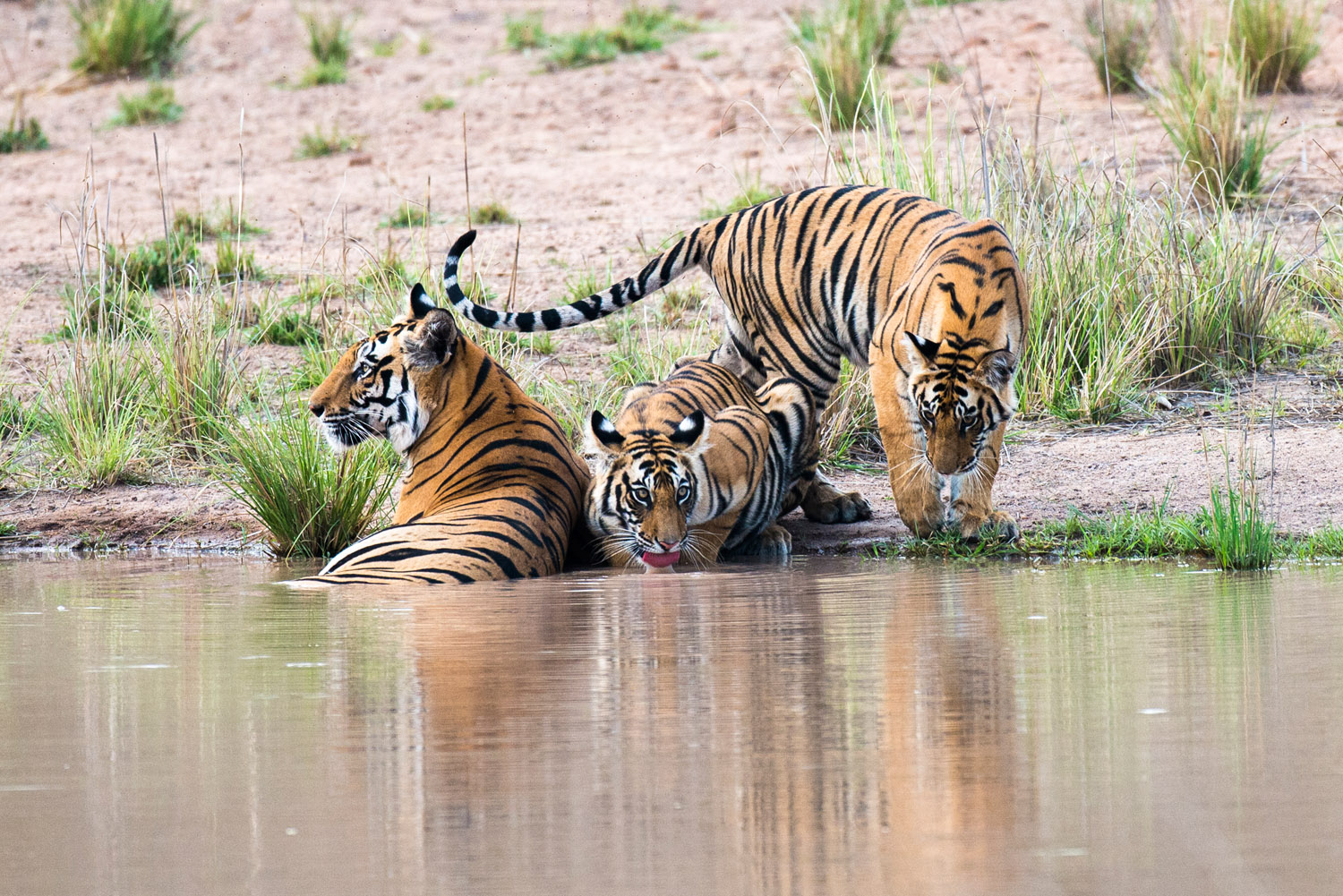 Bengal tiger mother with cubs at edge of pool, Bandhavgarh National Park, Madhya Pradesh, India