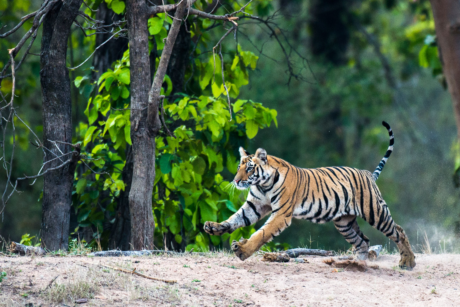 Bengal tiger cub running at edge of sal forest, Bandhavgarh National Park, Madhya Pradesh, India