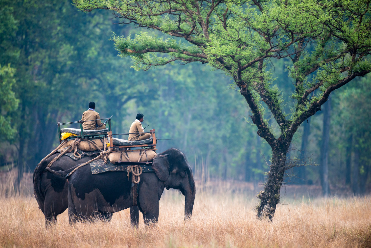 Forest guard mahouts on Indian elephants watching Bengal tiger cubs in meadow by 'khair' tree, Bandhavgarh National Park, Madhya Pradesh, India