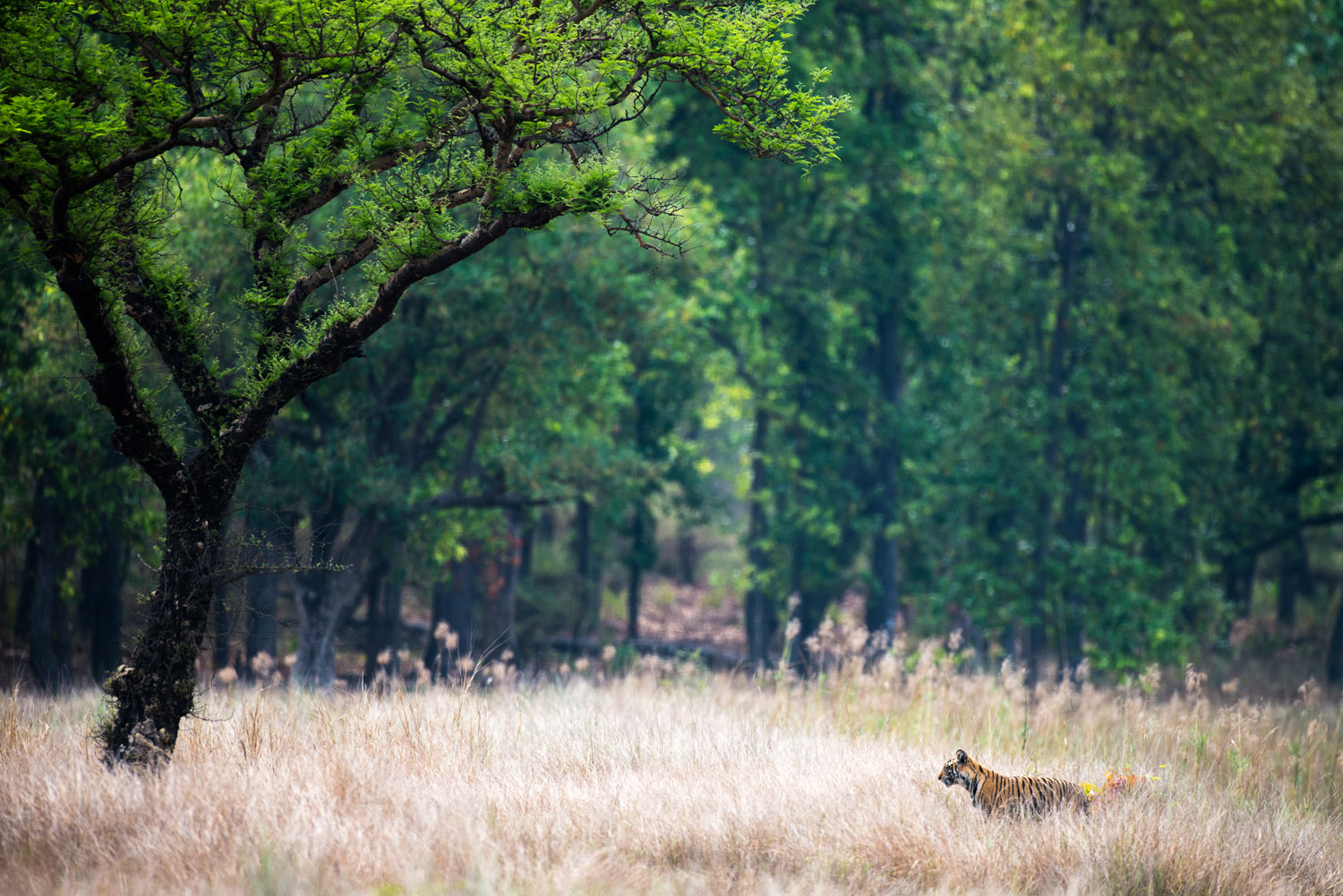 Bengal tiger cub in meadow by 'khair' tree, Bandhavgarh National Park, Madhya Pradesh, India