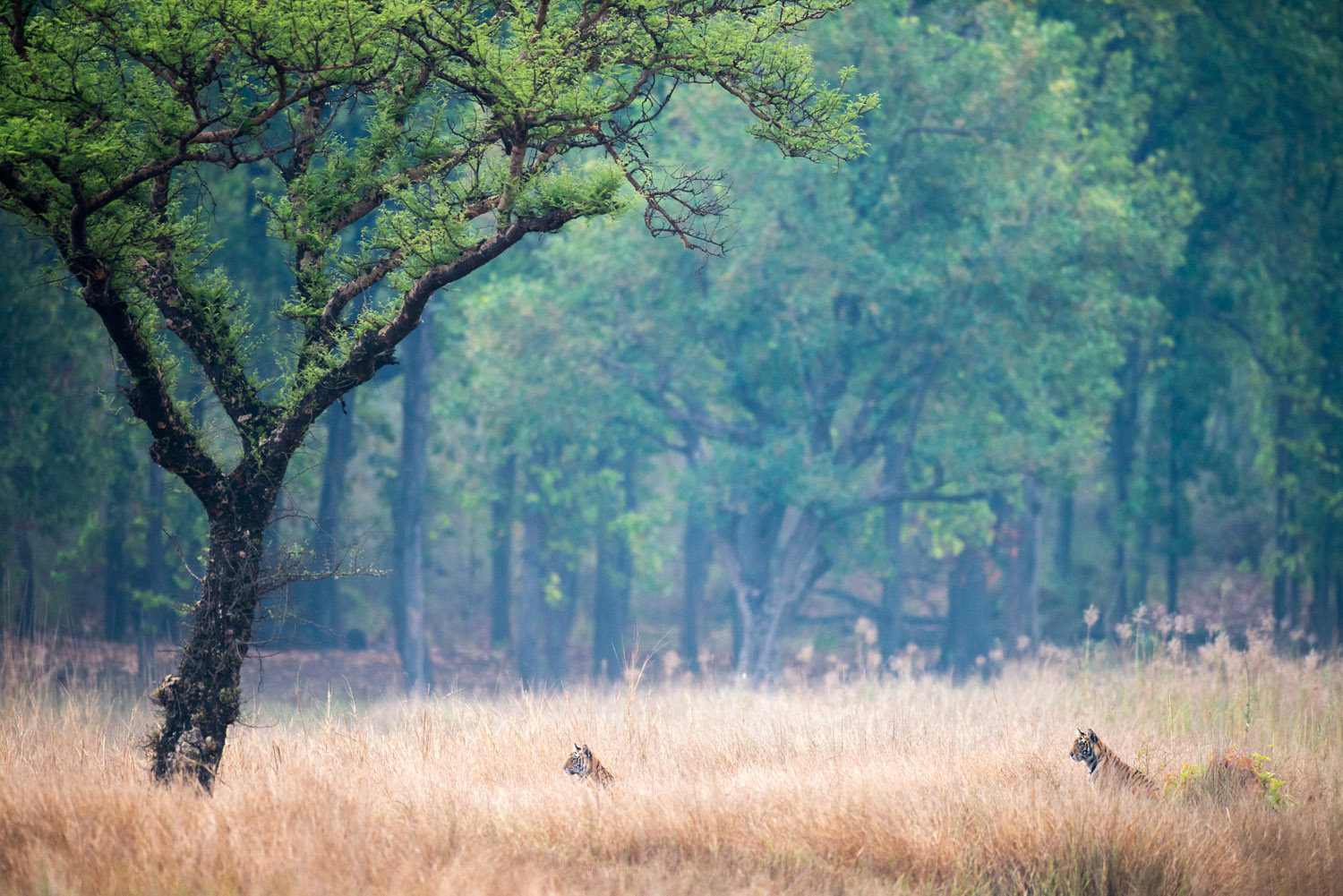 Bengal tiger cubs in meadow by 'khair' tree, Bandhavgarh National Park, Madhya Pradesh, India