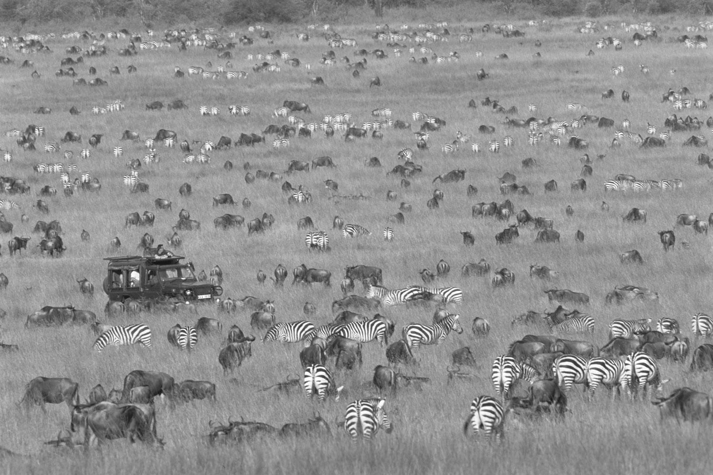 Tourists in Land Cruiser watching wildebeest and common zebra migration, Masai Mara National Reserve, Kenya