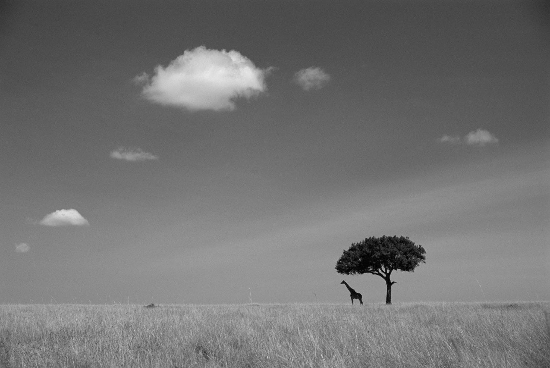 Maasai giraffe under lone tree, Masai Mara National Reserve, Kenya