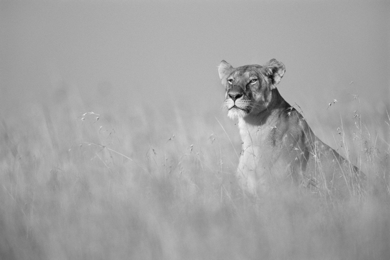 Lioness on alert in long grasses, Masai Mara National Reserve, Kenya