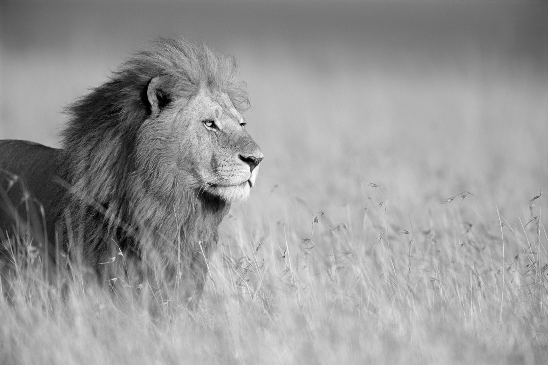 Lion in long grass, Masai Mara National Reserve, Kenya