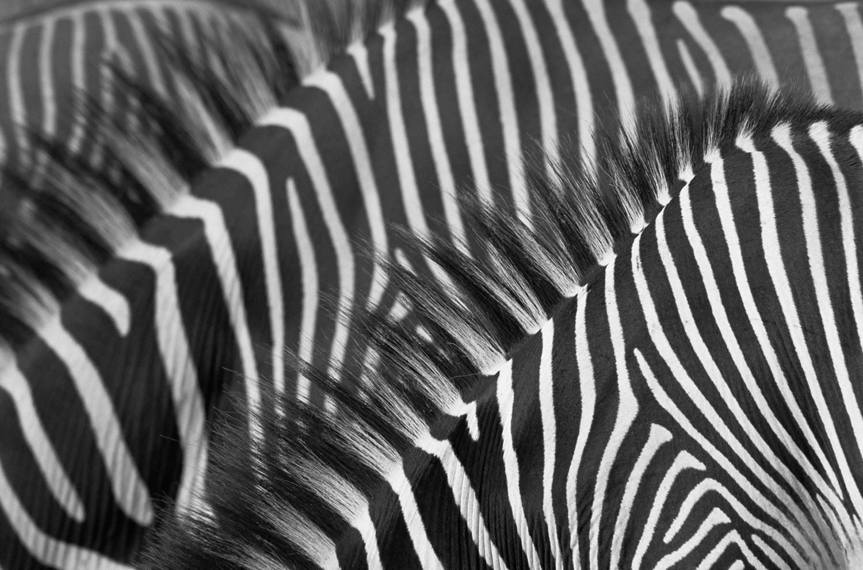 Grévy's zebra stripe patterns, Samburu National Reserve, Kenya
