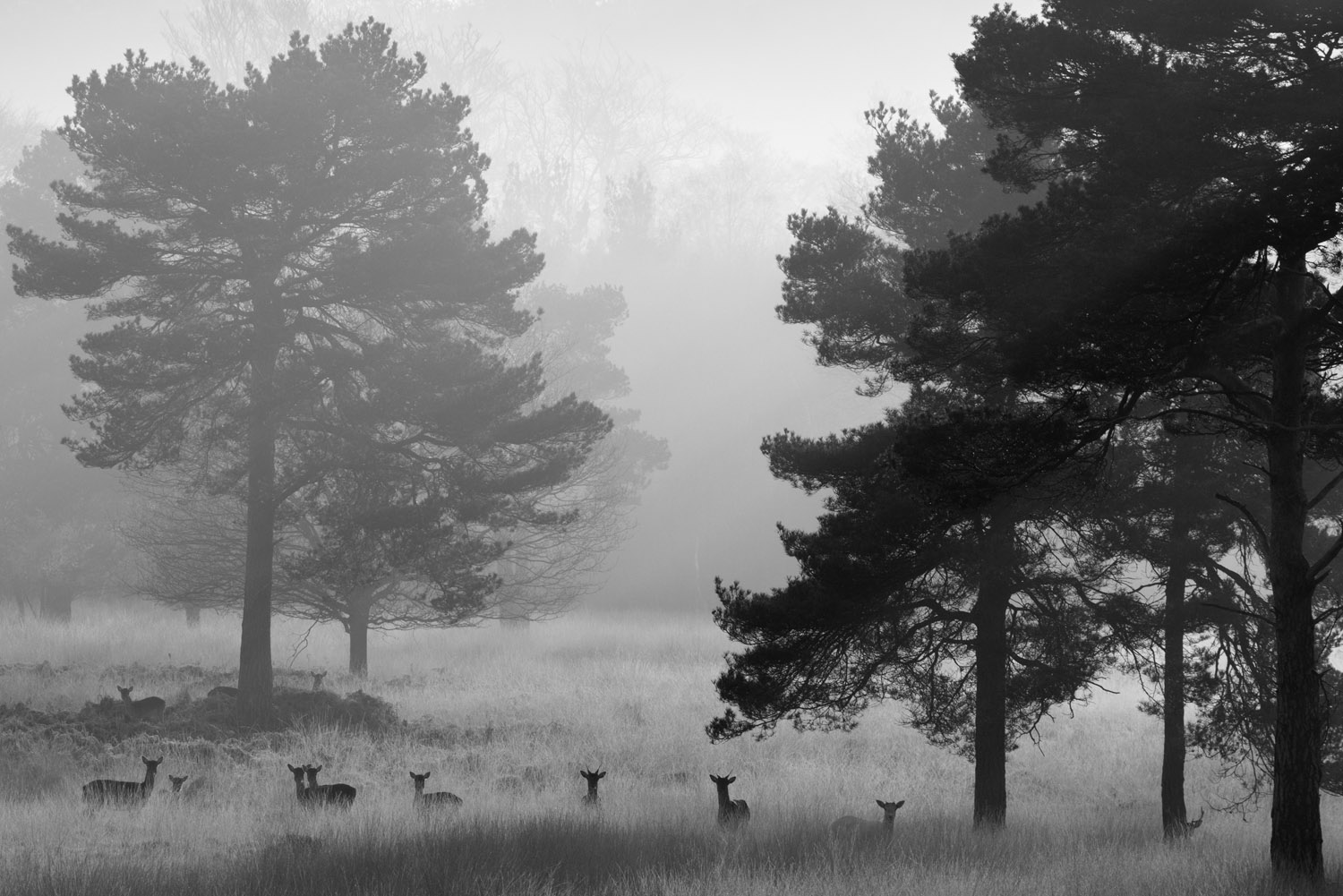 Fallow deer and Scots pines at dawn, Ashdown Forest, Sussex Weald, England