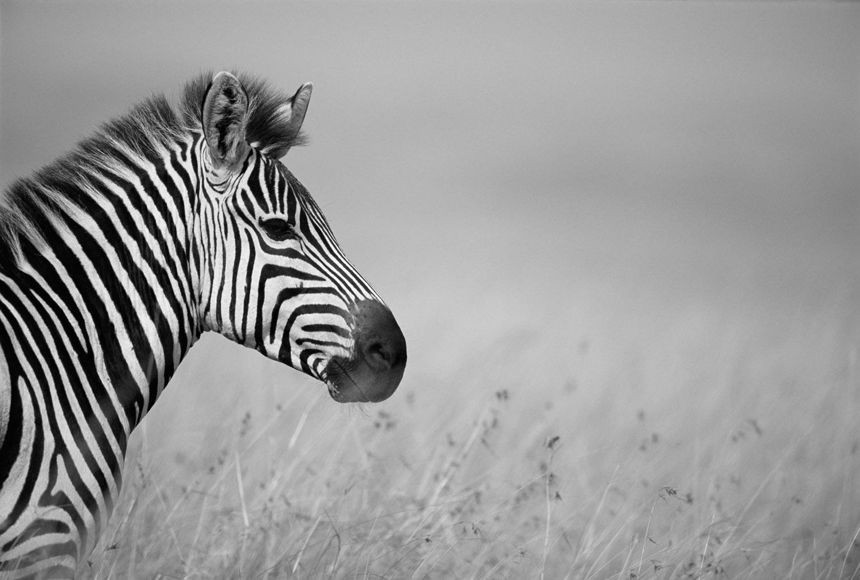 Common zebra profile, Masai Mara National Reserve, Kenya