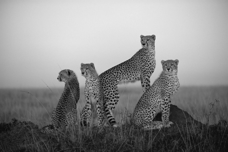 Cheetah family at dawn, Masai Mara National Reserve, Kenya