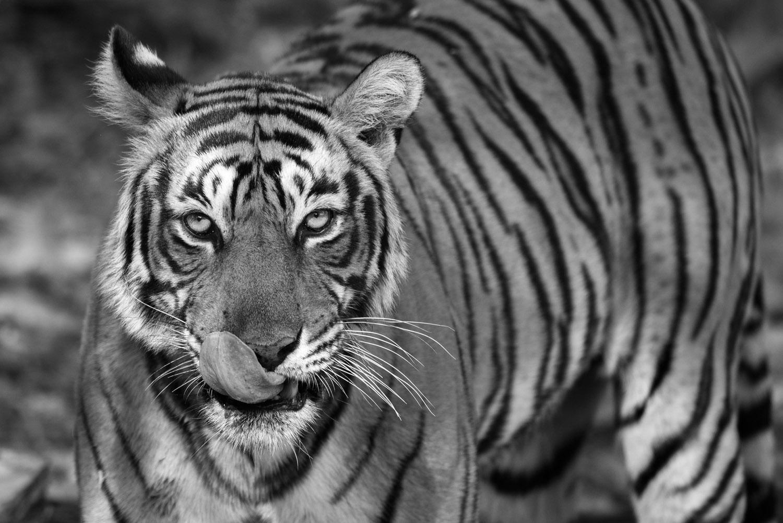 Bengal tigress licking nose, Ranthambhore National Park, Rajasthan, India