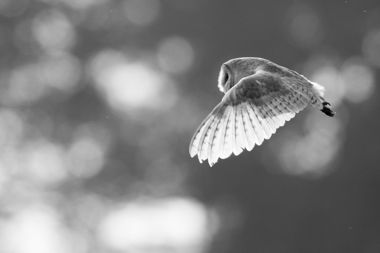 Barn owl in flight, Sussex Weald, England